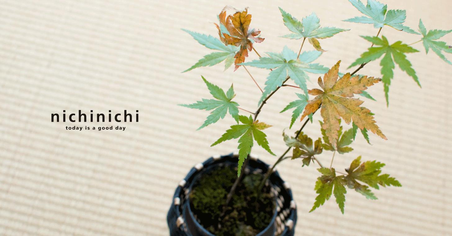 ミニ盆栽を育てて自宅で季節を感じる。小さなモミジが紅葉しました。