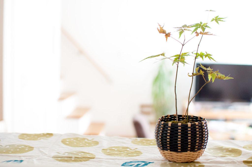キッチンに置いたミニ盆栽